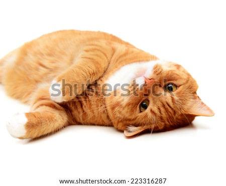 beautiful ginger cat, British Shorthair, on a white background