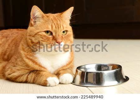 beautiful ginger cat closeup,British Shorthair - stock photo