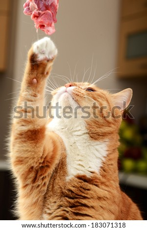 beautiful ginger cat eating raw meat - stock photo