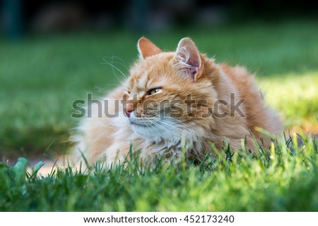 Beautiful ginger cat lying in the garden