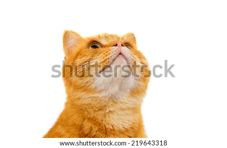 Beautiful ginger cat on a white background - stock photo