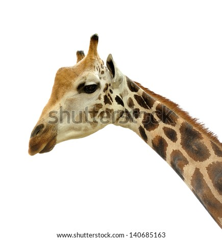 Beautiful giraffe isolated on white background, selective focus.