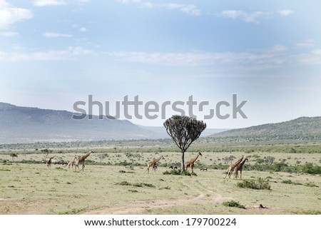 Beautiful Giraffes and the acacia tree in the Savannah grassland  - stock photo