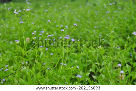 Beautiful Goat weed flower bloom bright