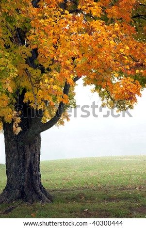 Beautiful Golden Autumn tree in early morning fog - stock photo