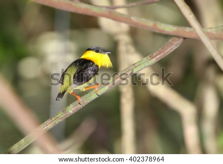 Beautiful Golden-collared Manakin male perched on a tree branch showing its vibrant colorful plumage - stock photo