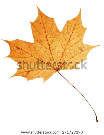 Beautiful golden dry maple leaf isolated on white background  - stock photo