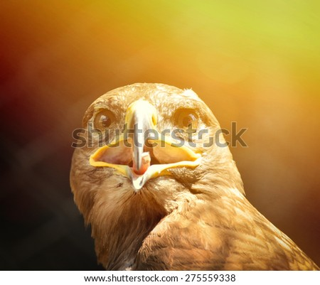 Beautiful Golden eagle portrait - stock photo