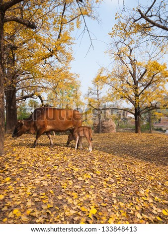 beautiful golden ginkgo trees in autumn