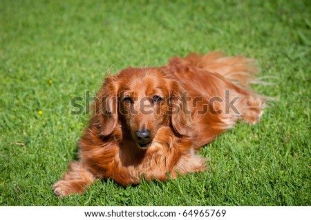 Beautiful golden long-haired miniature dachshund looks up at you