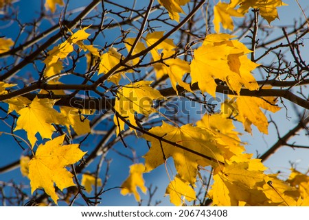 Beautiful golden maple leaves on the wind in Helsinki, Finland at bright and clear autumn day - stock photo