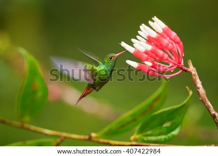 Beautiful, golden-orange tailed hummingbird, Amazilia tzacatl, Rufous-tailed hummingbird feeding on nectar from cluster of small red and white flowers against blurred forest background. Colombia. - stock photo