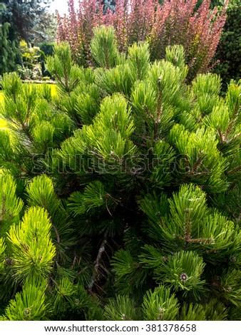 Beautiful golden pine growing in the House garden  - stock photo