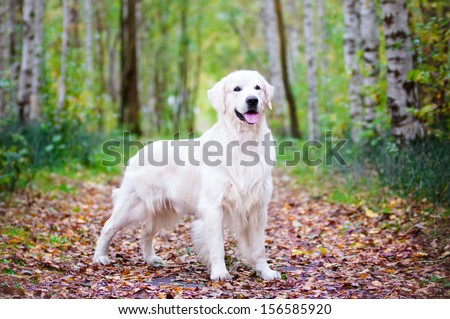 beautiful golden retriever dog - stock photo