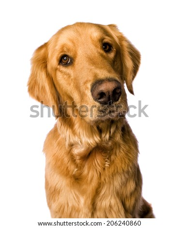 Beautiful golden retriever dog head shot isolated on white background