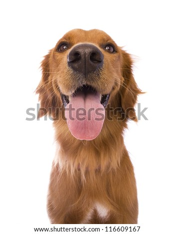 Beautiful Golden Retriever dog headshot isolated on white background