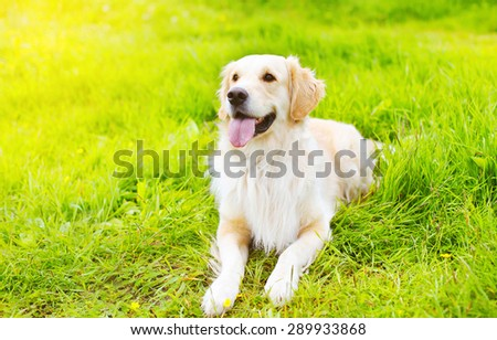 Beautiful Golden Retriever dog lying on the grass in sunny summer day - stock photo