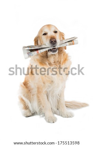 Beautiful Golden Retriever dog with a newspaper in his mouth - stock photo