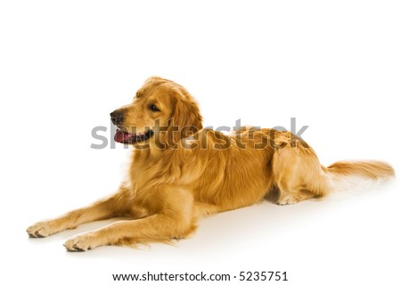 Beautiful golden retriever dogs in a variety of poses. - stock photo