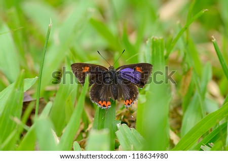 beautiful Golden Sapphire butterfly (Hellophorus brahma) on grass near the road track - stock photo