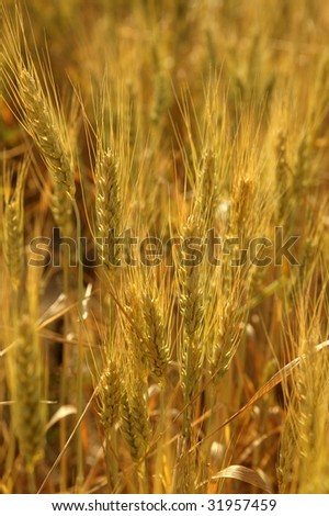 Beautiful golden wheat cereal yellow field