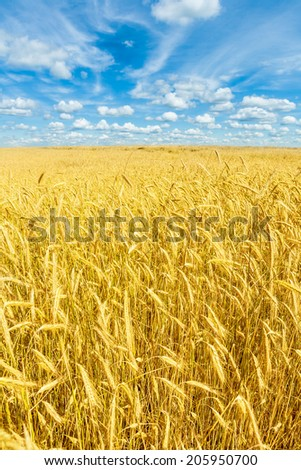 beautiful golden wheat field and blue sky - stock photo