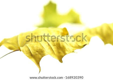 Beautiful golden yellow autumn maple leaves on white background. - stock photo