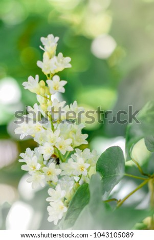 Beautiful good smell little white flowers stock photo royalty free beautiful good smell little white flowers bridal creeper snow creeper blooming in garden and morning mightylinksfo