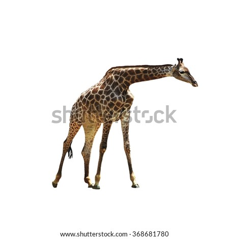 Beautiful graceful giraffe on isolated background. Beautiful African animal with a long neck. Spotted giraffe. - stock photo