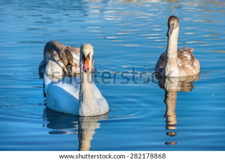 Beautiful graceful swans on a background of bright calm blue water with reflection - stock photo