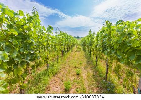 Beautiful grape fields in Hungary, Baranya county, Villany. - stock photo