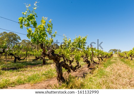 Beautiful grape vines in Barossa Valley - stock photo