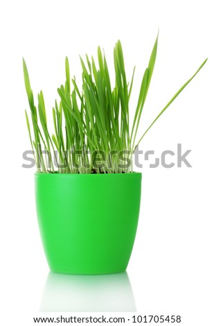 beautiful grass in a flowerpot isolated on white