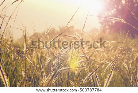 beautiful grass in nature and sunrise