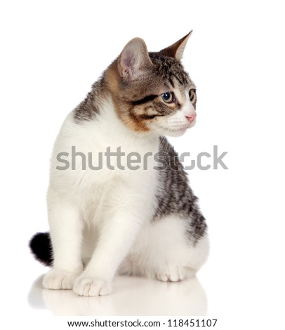 Beautiful gray and white cat isolated on white background