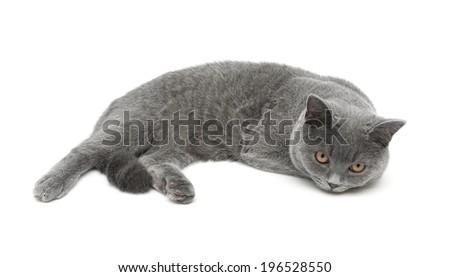 beautiful gray cat isolated on white background. horizontal photo. - stock photo