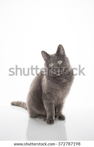 Beautiful Gray Cat Sitting on White Background Looking at Camera