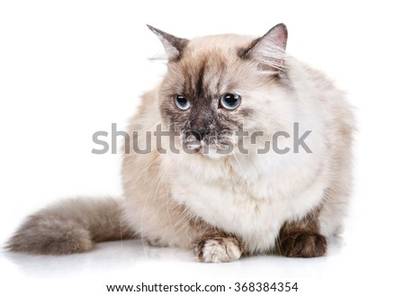 beautiful gray cat with blue eyes isolated on white