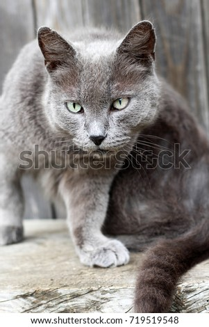 Beautiful gray cat with green eyes face closeup
