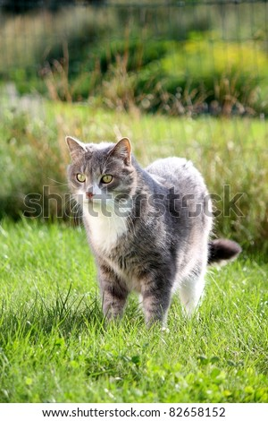 Beautiful gray cat with white chest standing on the grass - stock photo