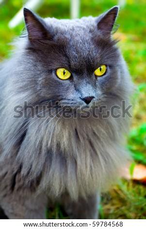 beautiful gray cat with yellow eyes - stock photo