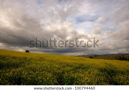 Beautiful gray clouds on a canola field in Tuscany - stock photo