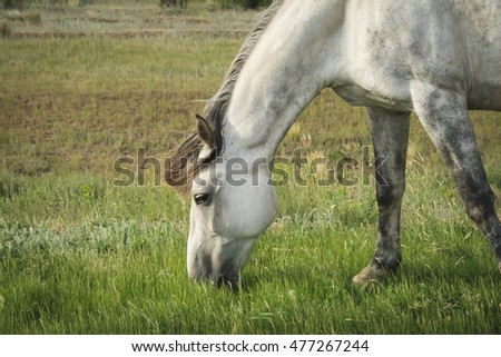 Beautiful gray horse grazing in a meadow