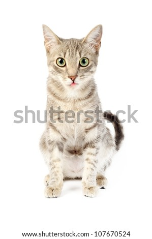 Beautiful gray kitten with tongue out, on a white background