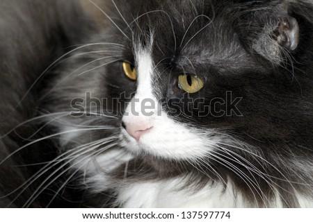 Beautiful gray main coon - stock photo