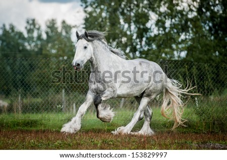 Shire Horse Stock Images, Royalty-Free Images & Vectors ...