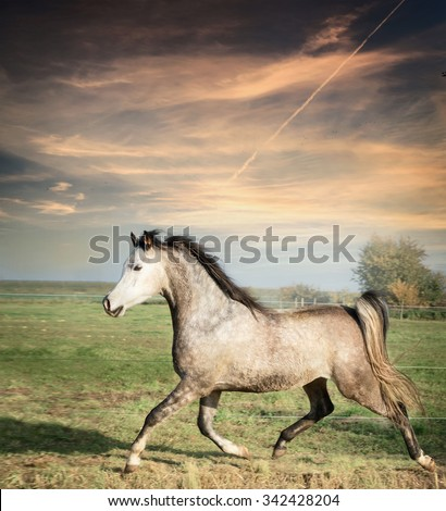 beautiful gray stallion horse running on the loose over pasture background