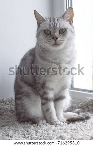 Beautiful gray tabby british cat sitting on a window sill