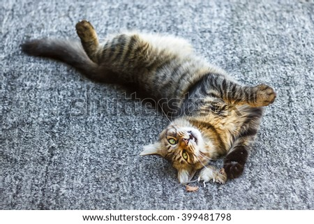Beautiful Gray Tabby Cat with green eyes playing with mouse on the farm. Cute Fluffy Cat lying on his back and looking into the camera. Charming cat looking at you with his piercing eyes. Closeup. - stock photo