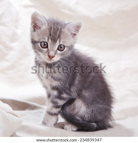 beautiful gray tabby kitten sitting on gray background